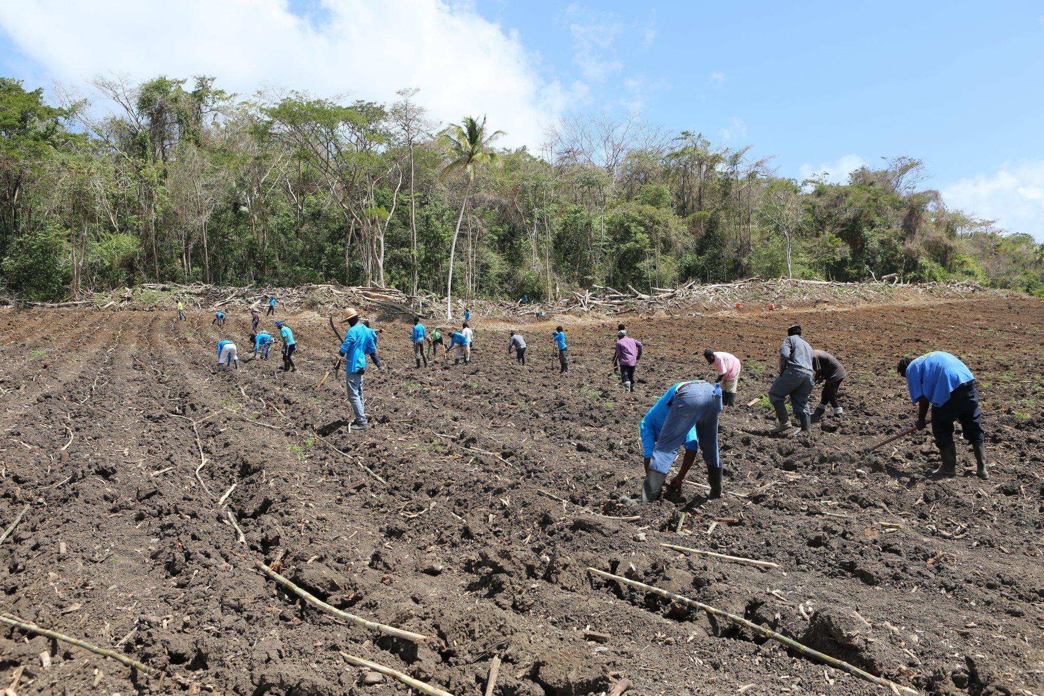 planting sugar cane